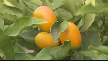 Dade City gears up for the Kumquat Festival