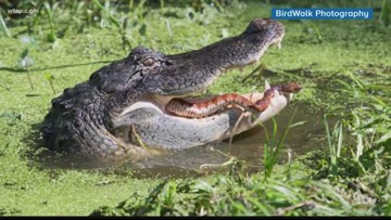 WOW: Alligator has snake for lunch