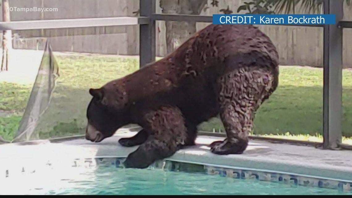 Bear takes dip in Naples homeowner's pool