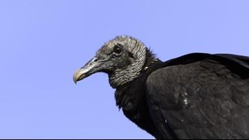Hundreds of vultures invade Florida neighborhood, but HOA