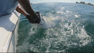 Watch: Hammerhead shark steals huge tarpon caught near Anna Maria Island