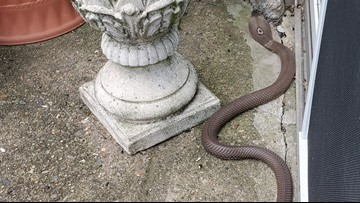 Woman uses shovel to kill cobra slithering on her patio