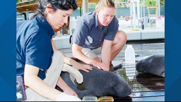 Orphan manatee calves being treated at ZooTampa