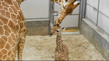 Baby giraffe makes his entry to the world at Jacksonville Zoo