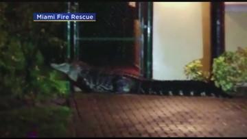 Miami Fire Rescue finds massive gator
