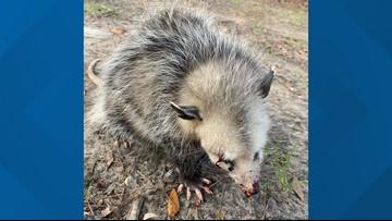 Golfers beat baby opossum blind, wildlife rescue says