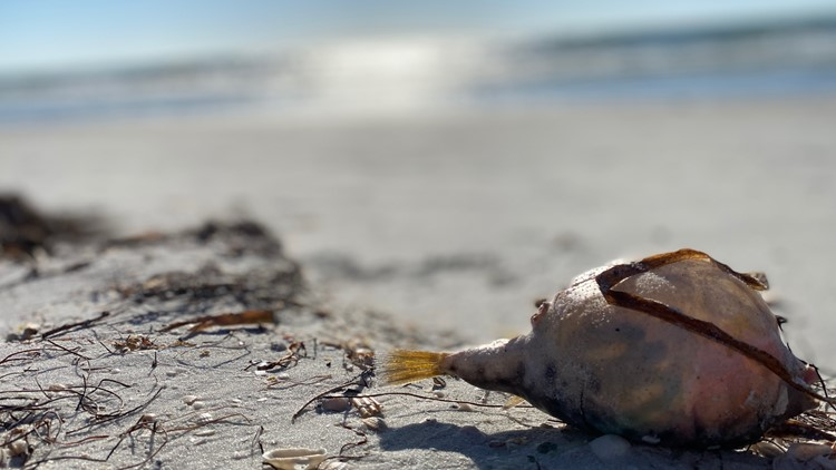 Red tide subsides, but still present along Florida Gulf Coast