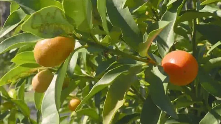 There are cold weather concerns for kumquat fans