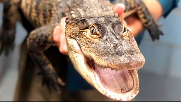 Chance the Snapper headed for new home at Florida gator farm
