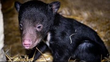 Sloth bear cub born at Cleveland Zoo
