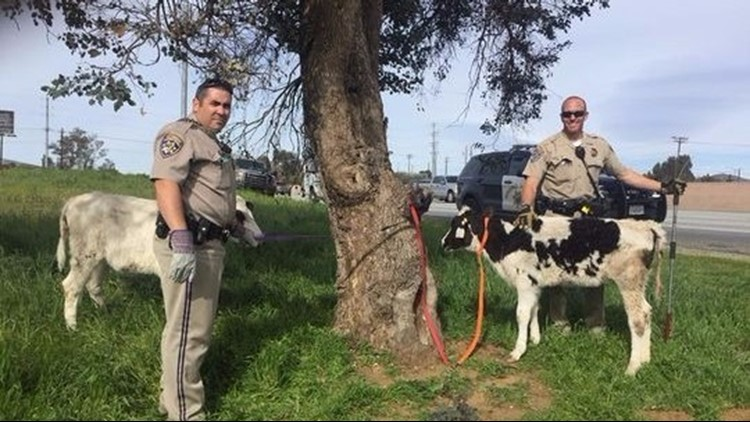 <p>Two calves were rescued after drivers spotted one of them trying to escape a Honda Civic trunk that was parked along Interstate 10 over the weekend.</p>