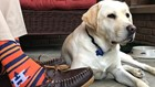 Sully, H.W. Bush's service dog, to serve at Walter Reed Bethesda after being trained in Maryland