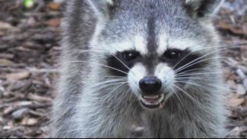 Polk County sees 11th confirmed case of rabies this year