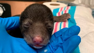 It takes a village: Foster mother bear to raise cub saved by dog in Virginia