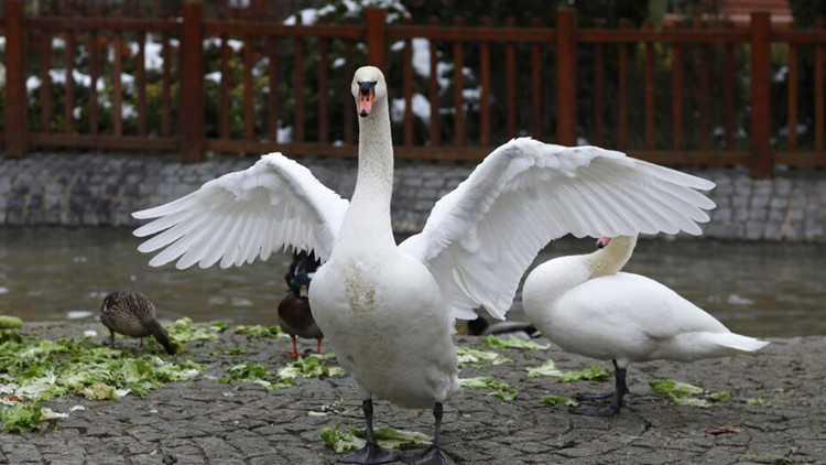 Louisiana country club declares 'emergency', offers $2,000 for missing swan whose eggs need her