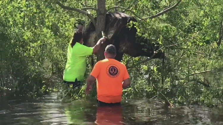 Video: Cow rescued from tree above floodwater in Louisiana
