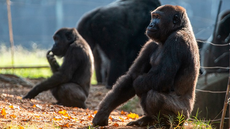 18 gorillas at Atlanta's zoo have contracted COVID