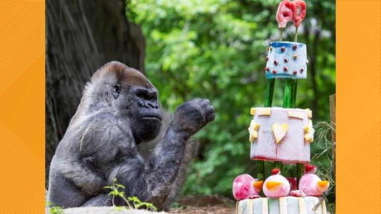 World's oldest male gorilla, with 20 descendants, celebrates birthday at Zoo Atlanta